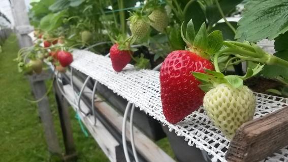 Production de fraises hors sol : Ferme Onésime Pouliot Inc. à l'île d'orléans