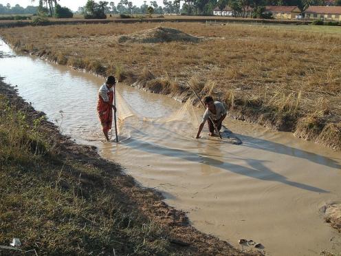 Capture des poissons dans un canal d'irrigation d'une culture de riz. Crédit photo WorldFish 2007