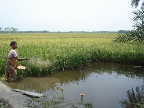 Distribution de la moulée aux poissons dans un étang dans une culture au Bangladesh. Crédit photo WorldFish 2008